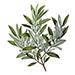 organiczna oliwa z oliwek
